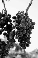 Grappolo d'uva negramaro giunto a maturazione e pronto per essere raccolto su di un vigneto ad alberello pugliese. Alcuni acini sono stati ammaccati dalla malattia più diffusa tra i vitigni cioè la peronospora. E' una malattia di tipo funginea. Il vigneto si trova a San Pancrazio Salentino in provincia di Brindisi