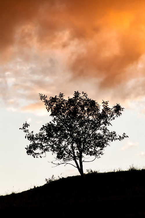 silhouette of unidentified tree on a hill with  sunset light in the background