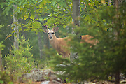 White-tailed Deer, Acadia National Park, Maine, North America