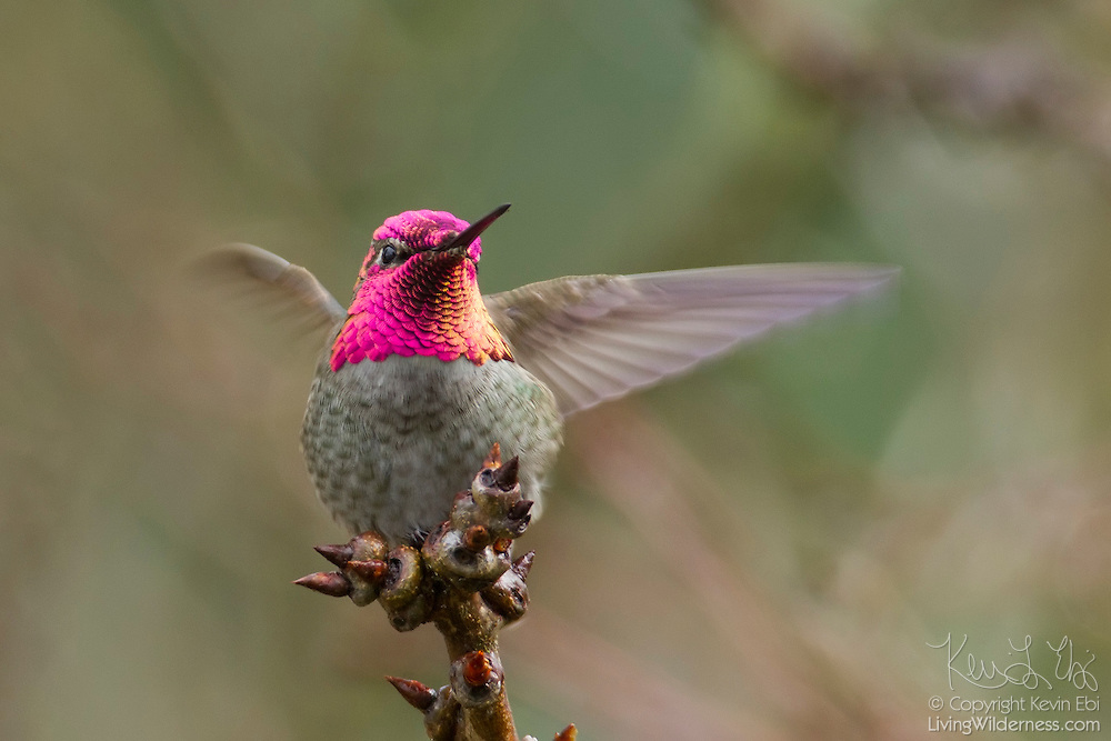 An Anna's hummingbird (Calypte anna) lands on a branch in Snohomish County, Washington. Anna's hummingbirds are native to the west coast of North America, found from southern British Columbia to northern Baja California. Male Anna's hummingbirds, such as this one, have an iridescent crimson-red crown and throat.