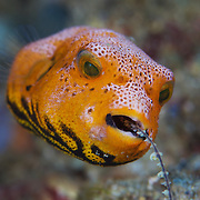 Bright orange juvenile star pufferfish (Arothron stellatus) eating coral