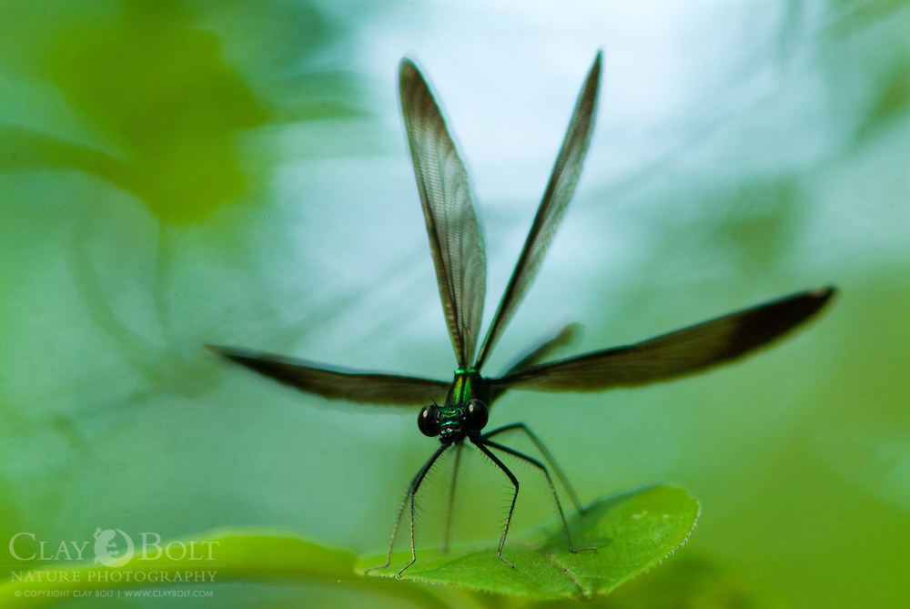 Ebony Jewelwing Damselflies (Calopteryx maculata) prefer to inhabit slow flowing, shallow bodies of water such as streams, creeks and swamps. They are one of the few species of damselflies, which will perch with their wings held open.