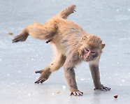 Monkeys playing on the ice - 31 JAn 2018