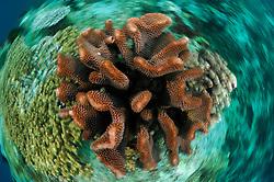 Stony coral (Pocillopora sp.) Raja Ampat, West Papua, Indonesia, Pacific Ocean | Raja Ampat, West Papua, Indonesien, Pazifischer Ozean