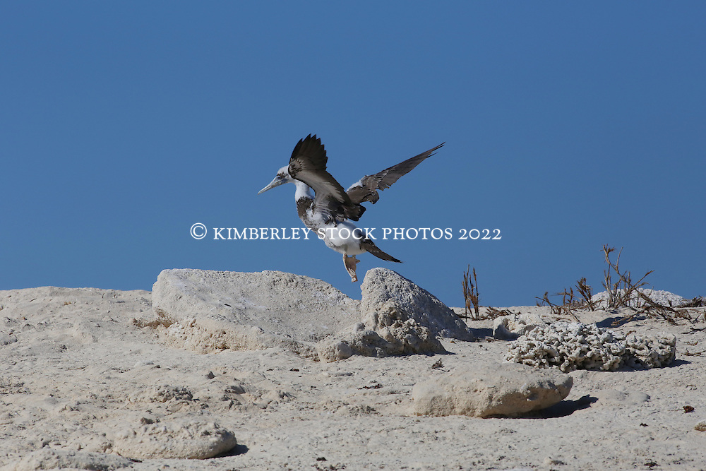 A young Brown booby chick stretches its wings on the Lacepede Islands, north west of Broome,