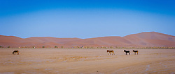 Donkeys roaming in the Moroccan Sahara Desert near Cheggaga in the early morning<br /> <br /> (c) Andrew Wilson | Edinburgh Elite media
