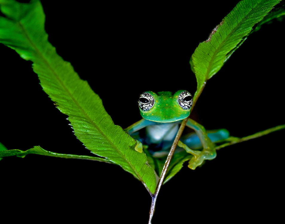 White spotted Glass Frog (Cochranella albomaculata)