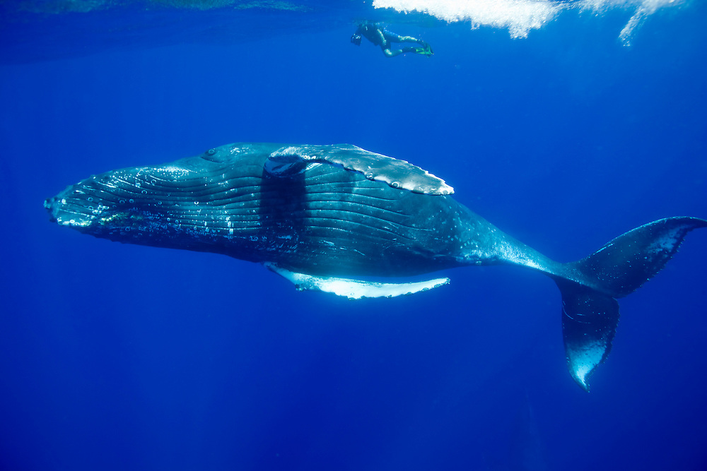 USA, Hawaii, Big Island, Underwater view of Humpback Whale (Megaptera novaengliae)  beneath man snorkeling at surface in Pacific Ocean