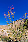 Ocotillo under Indianhead Peak, Borrego Palm Canyon, Anza-Borrego Desert State Park, California USA