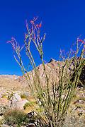 Ocotillo under Indianhead Peak, Borrego Palm Canyon, Anza-Borrego Desert State Park, California USA