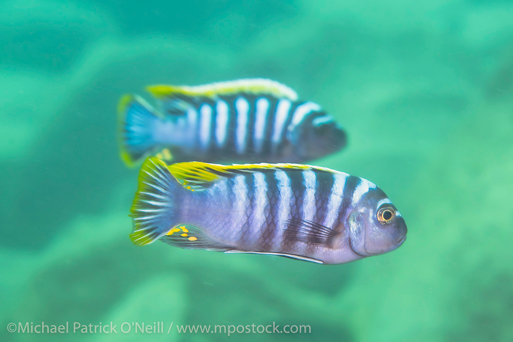 Two male Cynotilapia zebroides fight over territory and females near a rocky reef at Likoma Island, Lake Malawi, Malawi, Africa. Red Top color morph