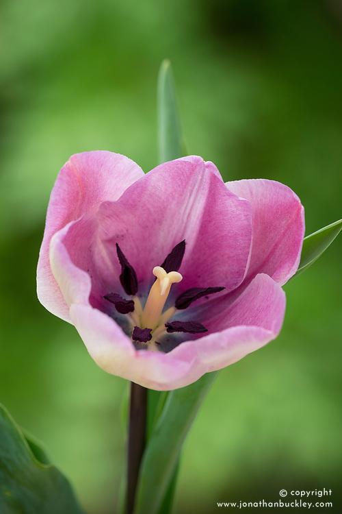 Tulipa 'Jacuzzi'