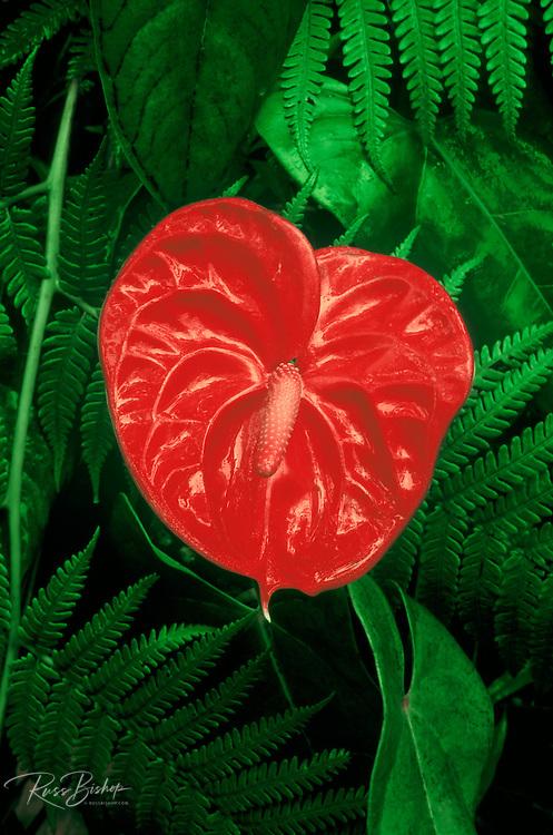 Detail of an Anthurium flower, Puna District, The Big Island, Hawaii