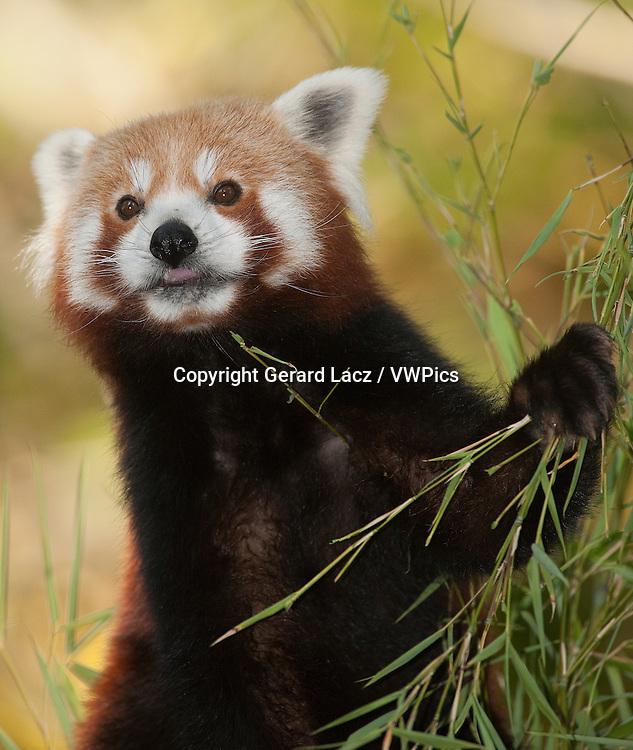 Red Panda, ailurus fulgens, Adult eating Bamboo
