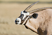 Gemsbok bull portrait, Kgalagadi Tranfrontier Park, Northern Cape, South Africa