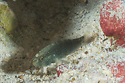 halfspotted goby, bluespotted goby, or starry goby, Asterropteryx semipunctatus or Asterropteryx semipunctata, Kahaluu Beach Park, Kona Coast, Hawaii Island ( the Big Island ) Hawaiian Islands ( Central Pacific Ocean )