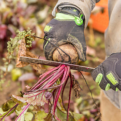 Trimming harvested beets on a farm on Kinney Hill in South Hampton, New Hampshire.