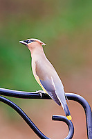 A flock of Cedar waxwings comes to our backyard Holly trees every winter and gorge themselves on the berries, then come to our pond to drink. This one was sitting on the back of a chair waiting his turn at the pond.