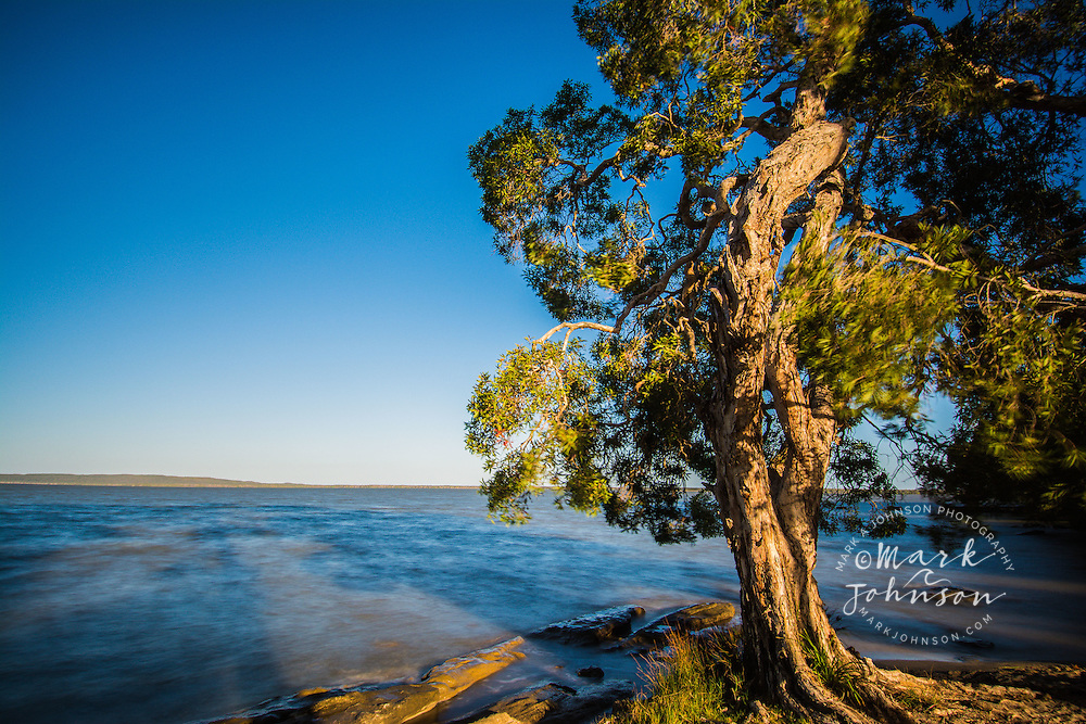 Paperbark tree growing on the shore of Lake Cootharaba, Queensland, Australia