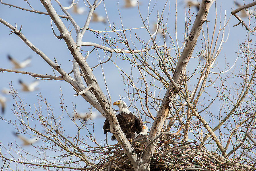 Nesting pair of bald eagles as thousands of snow gesse fly over near Fairfield, Montana, USA