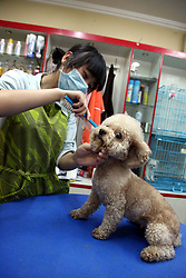 59646716 .A working staff trims the hair of a pet dog at a store in Tonglu County, east China s Zhejiang Province, May 14, 2013. Pet dogs hair was cut short as the hot summer is approaching, May 14, 2013. Photo by: imago / i-Images. UK ONLY