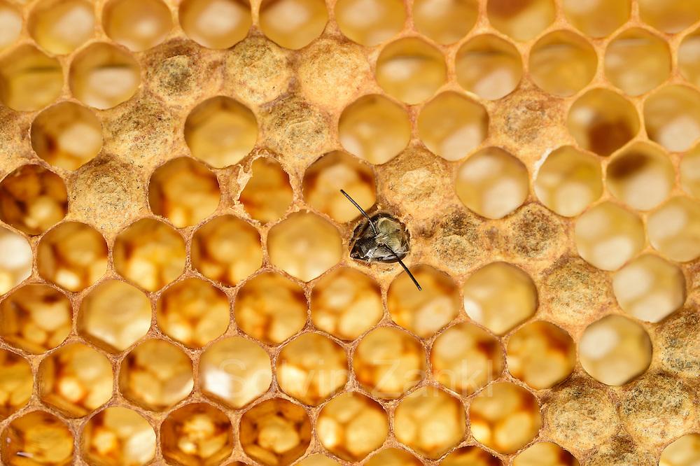 Honey bee (Apis mellifera), Kiel, Germany   Die junge Honigbiene (Apis mellifera) Verpuppt sich in einer verdeckelten Wabenzelle. Den Wachsdeckel muß sie selbst aufbeisen, um die Zelle verlassen zu können.  Kiel, Deutschland
