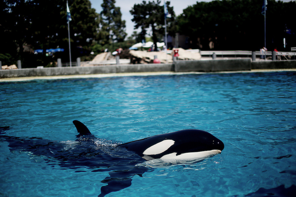 Killer Whales swim in a tank at Seaworld in San Diego, CA on Wednesday, July 17, 2013.