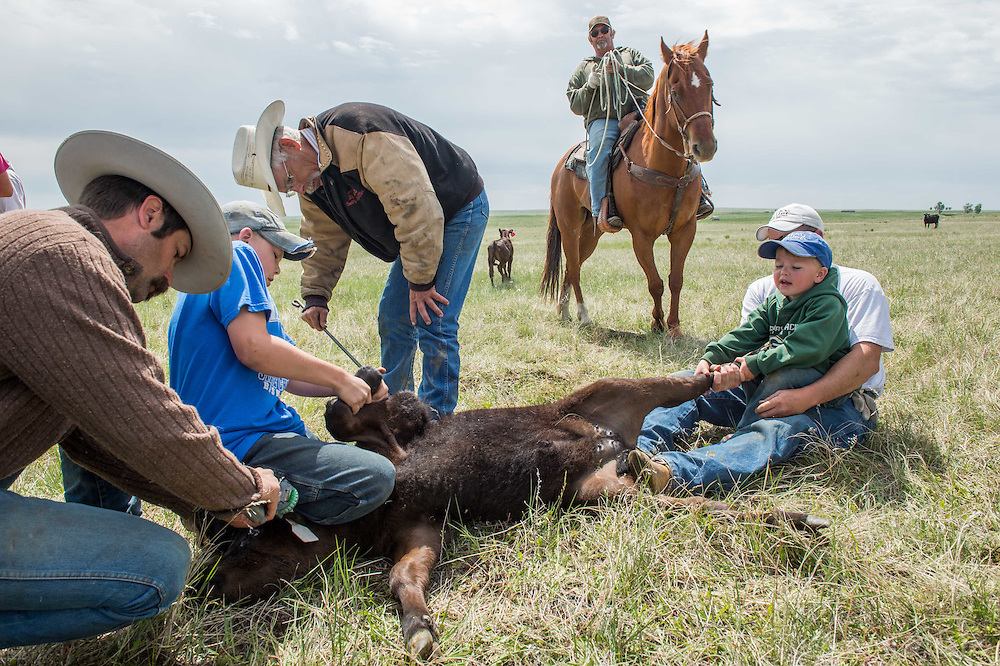 Family and friends brand calves  on the Oxarart Ranch near Malta, Montana on June 2, 2013. The Oxarart Ranch is part of an innovative grass bank project that allows ranchers to graze their cattle at discounted rates on Nature Conservancy land in exchange for improving conservation practices on their own &ldquo;home&rdquo; ranches. In 2002, the <br /> Conservancy began leasing parts of the ranch to neighboring ranchers who were suffering from several years of severe drought essentially offering the Matador&rsquo;s grass to neighboring ranches in exchange for their  participation in conservation efforts. Thirteen ranchers graze their cattle on the Matador and the grassbank has enabled TNC to leverage conservation on more than 225,000 additional acres of private land without the cost of purchase of the land or of easements. (Photo By Ami Vitale)