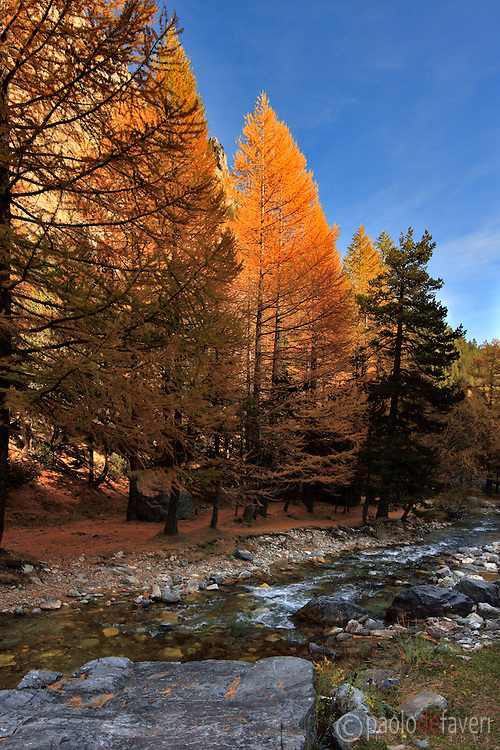 A group of larches shining in the sunset light. Taken on mid October in Valle Stretta, a beautiful valley of the western Alps in Piedmont, Italy. This is stitched from four vertical takes.
