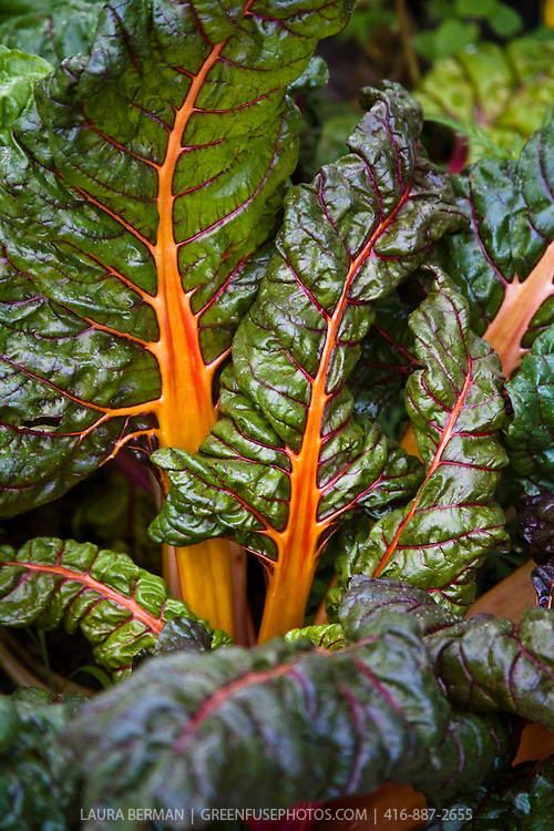 The colorful leaves and stems of Bright Lights rainbow chard