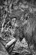 A male lion gorging himself on a buffalo kill in Klaserie, South Africa.