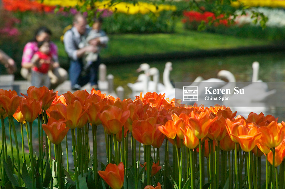 Tulips, tourists and swans in Keukenhof Gardens, Amsterdam, Netherlands