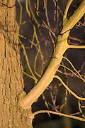 New growth on Horse-chestnut tree, Oxfordshire, United Kingdom