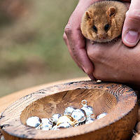 SLOUGH, ENGLAND - OCTOBER 09:  Dennis a captive-bred dormouse at the photocall of PTES in Burnham Beeches  on October 9, 2009 in Slough, England.  The People's Trust for Endangered Species (PTES) , together with Natural England, launches the third Great Nut Hunt, a public survey to help save the endangered hazel dormice (Muscardinus avellanarius).  ...***Agreed Fee's Apply To All Image Use***.Marco Secchi /Xianpix. tel +44 (0) 771 7298571. e-mail ms@msecchi.com .www.marcosecchi.com