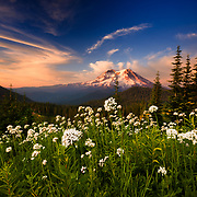 A summertime sunset over Cow Parsnip wildflowers with crimson cloudns and Mount Rainier off in the distance near Ashford, Washington.