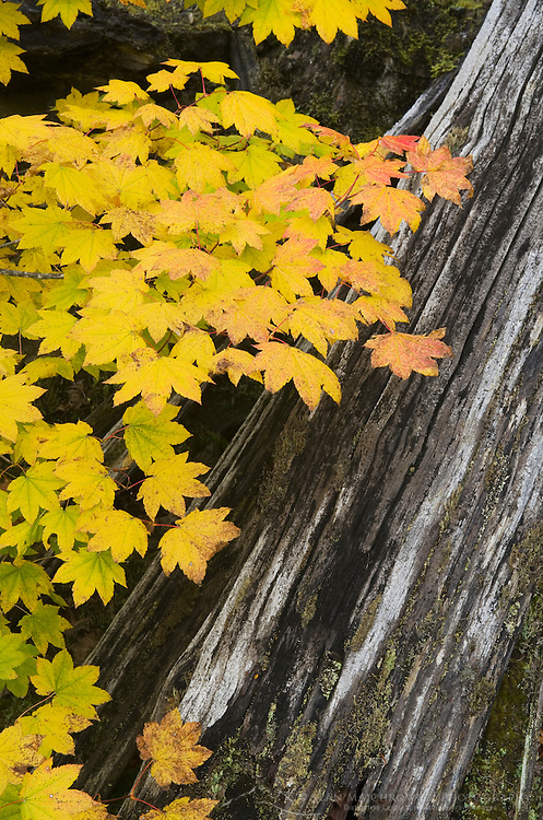 Colorful Vine Maples (Acer circinatum) in fall, North Cascades Washington