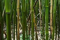 Bamboo forest, Maui, Hawaii, USA.