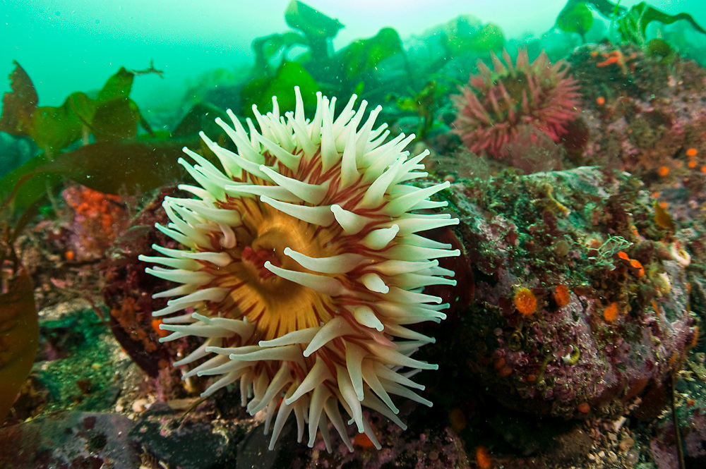 The Fish-Eating Anemone, Urticina piscivora, is a common anemone species in Browning Passage in Vancouver Island, British Columbia, Canada