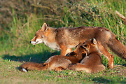 Red fox (vulpus vulpus) vixen nursing her cubs. Amsterdamse waterleidingduinen, The Netherlands. June 2011.