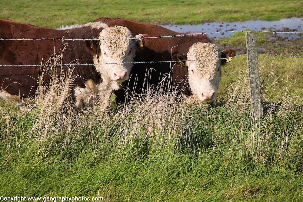 Hereford cattle calves grazing in wetland marshland Boyton Marshes, Suffolk, England