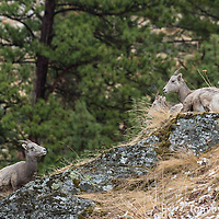 bighorn sheep ewe's on rocks