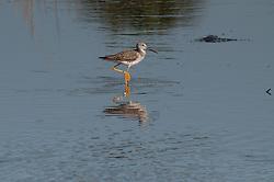 Lesser Yellowlegs (Tringa flavipes), Merritt Island National Wildlife Refuge, Titusville, Florida, US
