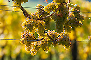 Weintrauben, Weinberg, Pillnitz, Sächsische Schweiz, Elbsandsteingebirge, Sachsen, Deutschland | grapes, vineyard, Pillnitz, Saxon Switzerland, Saxony, Germany