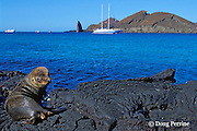 juvenile Galapagos sea lion, Zalophus californianus wollebaeki, with Lammer Law in background, Barthalome Island, Galapagos Islands, Ecuador, ( Eastern Pacific )