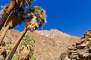 California fan palms in Borrego Palm Canyon, Anza-Borrego Desert State Park, California USA