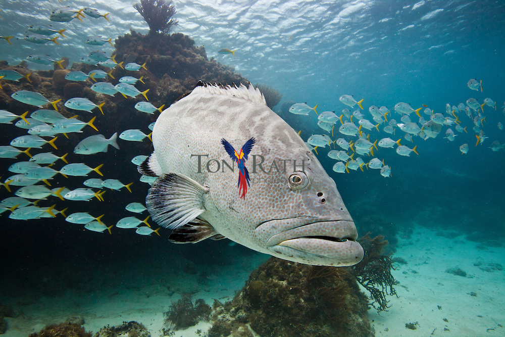Underwater close-up of yellow mouth grouper fish (Mycteroperca interstitalis) with a school of horse-eye jack (Caranx latus) and coral mounds off the coast of San Pedro Ambergris Caye island, Belize