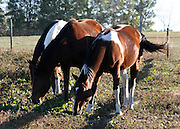 Three quarterhorse paints grazing in a pasture.