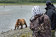 A brown bear cow known as Simba, walks past people along the lower lagoon at the McNeil River State Game Sanctuary on the Kenai Peninsula, Alaska. The remote site is accessed only with a special permit and is the world's largest seasonal population of brown bears in their natural environment.