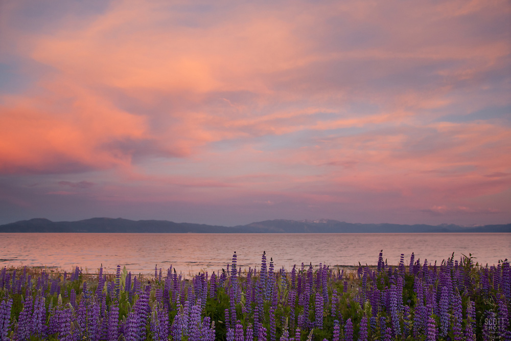 """Lupine Sunset 2"" - This sunset and lupine flowers were photographed at Lake Forest Beach Park, just outside of Tahoe City, CA."
