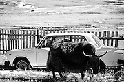 A yak and an old car in rural Mongolia.